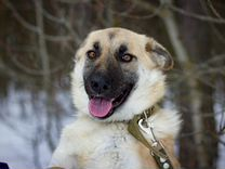 Красивая собака Лейла