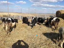 Животные,коровы