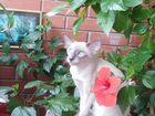 Ищем котика Ориентал для вязки